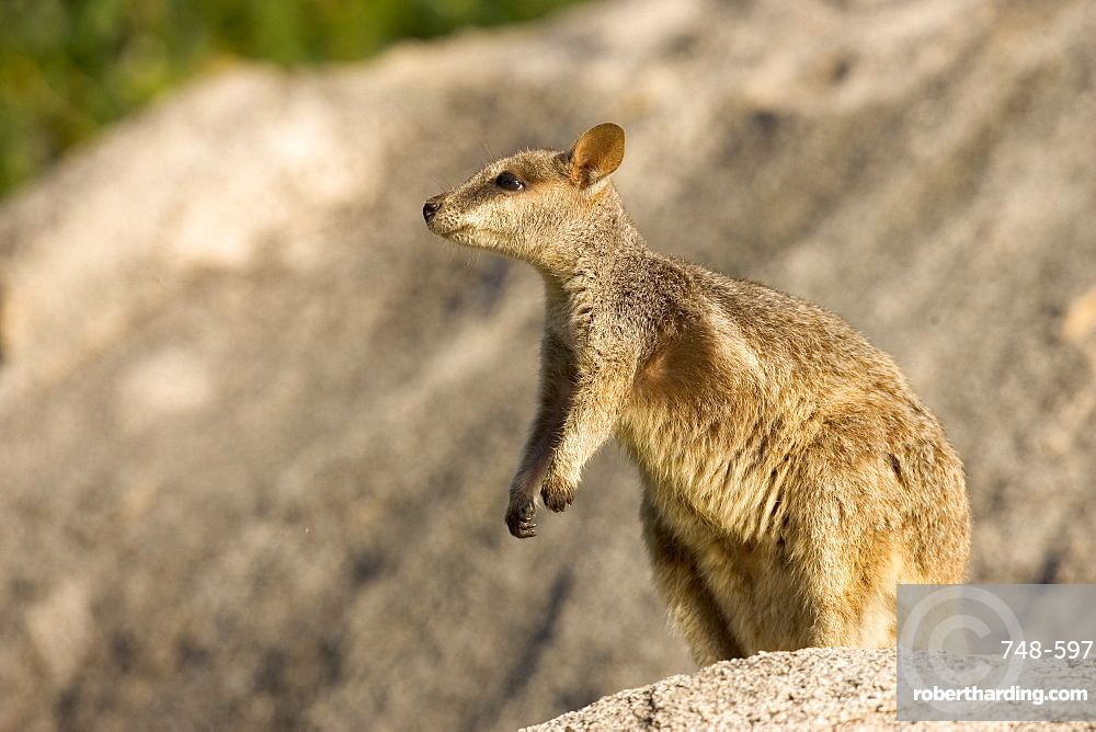 Black-footed rock wallaby (Petrogale lateralis), Magnetic Island, Queensland, Australia, Pacific