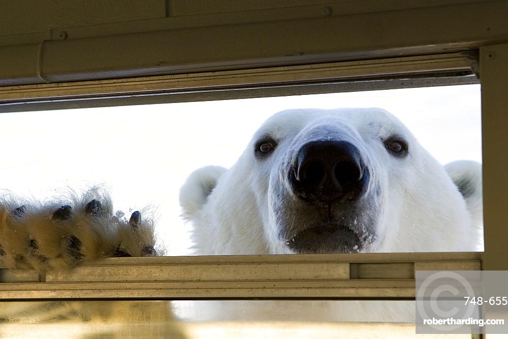 Polar bear (Ursus maritimus), Hudson Bay, Churchill, Manitoba, Canada, North America