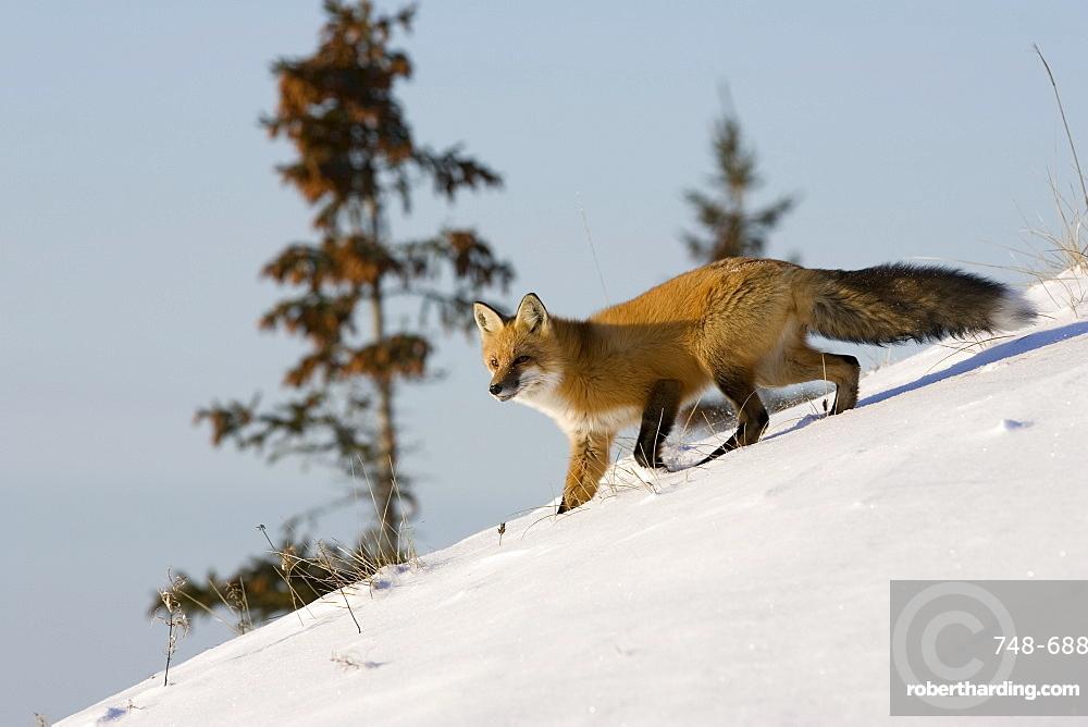Redfox (Vulpes vulpes), Churchill, Hudson Bay, Manitoba, Canada, North America