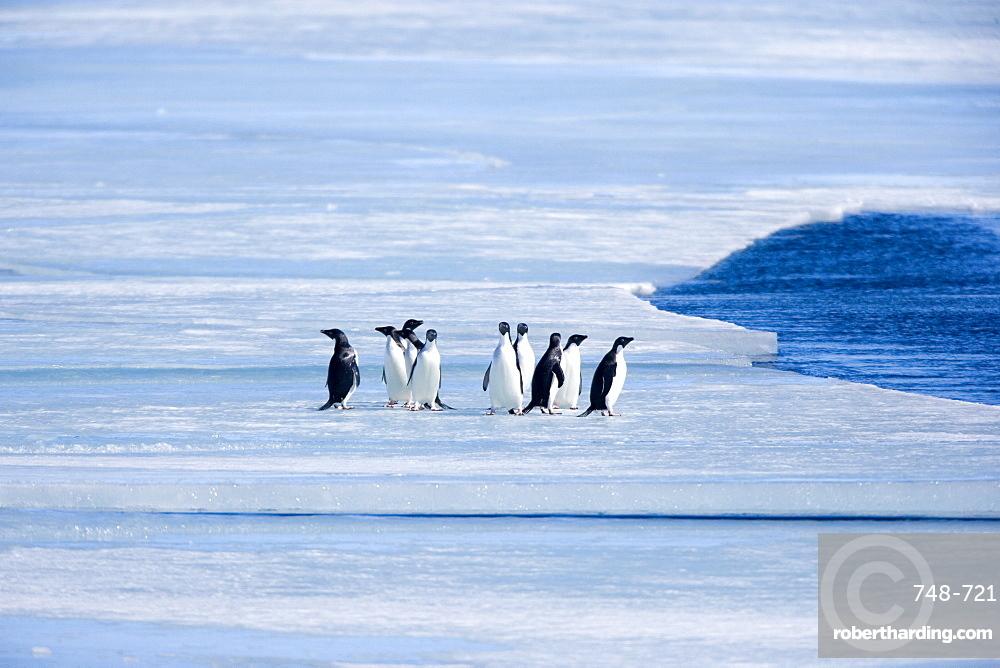 Adelie penguins (Pygoscelis adeliae), Browns Bluff, Weddell Sea, Antarctic Peninsula, Antarctica, Polar Regions