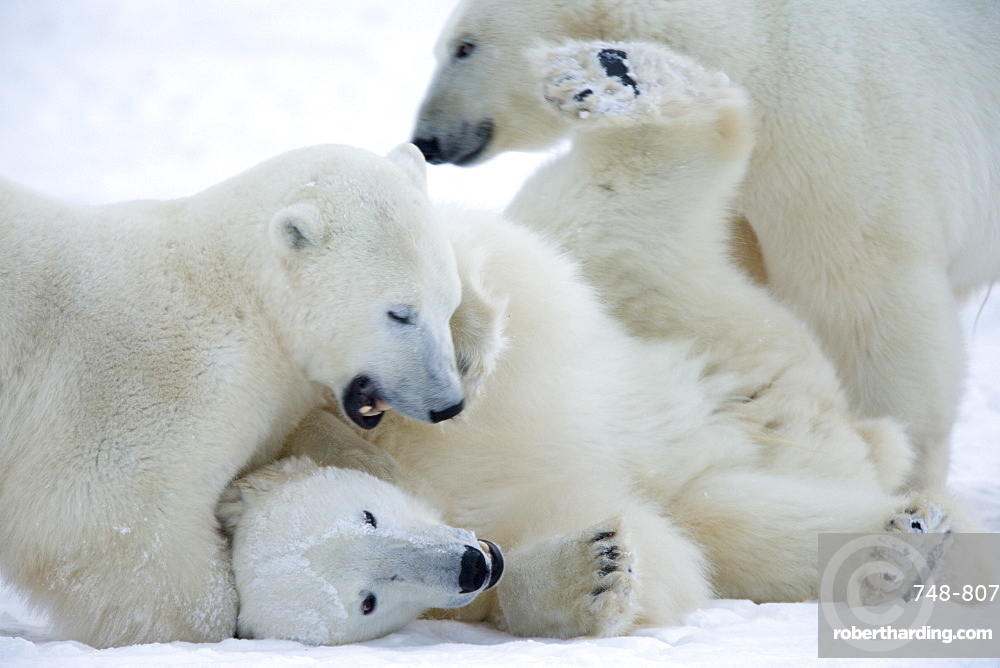 Polar bears (Ursus maritimus), Churchill, Hudson Bay, Manitoba, Canada, North America