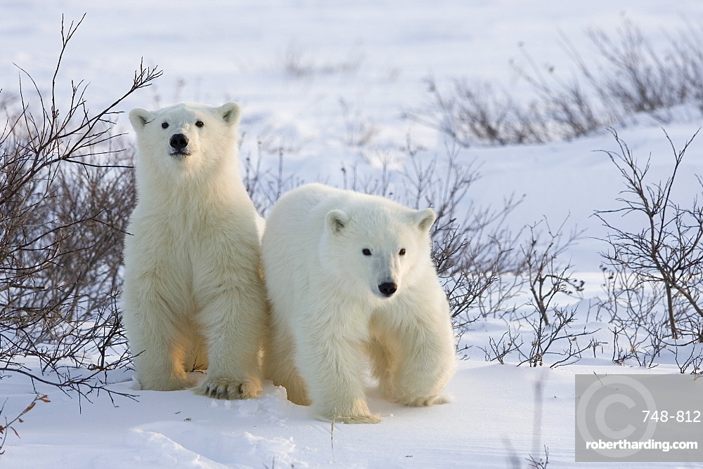 Polar bear cubs (Ursus maritimus), Churchill, Hudson Bay, Manitoba, Canada, North America
