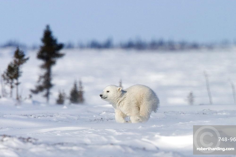 Polar Bear Cub, (Ursus maritimus), Churchill, Manitoba, Canada