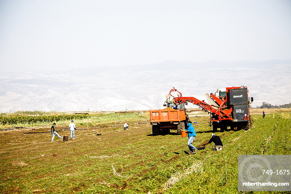 Carrot cultivation, Beit Shean valley, Israel, Middle East