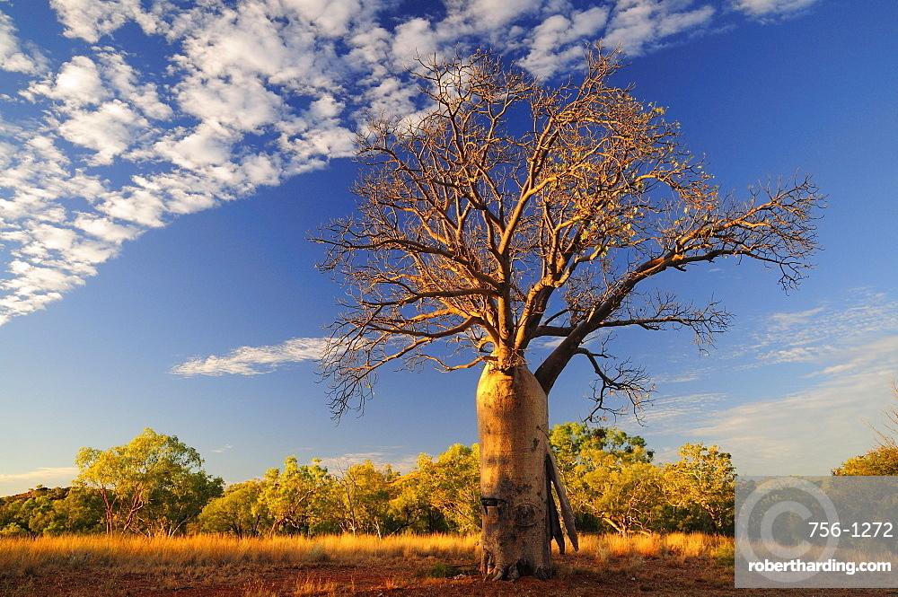 Boab tree, Kimberley, Western Australia, Australia, Pacific