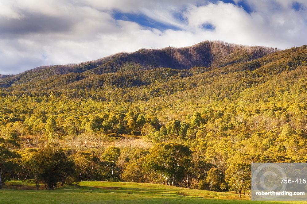 Eucalyptus forest, Kosciuszko National Park, New South Wales, Australia, Pacific