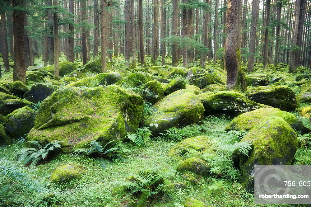 Mossy rocks, Reserve Forest, Manali, Himachal Pradesh state, India, Asia