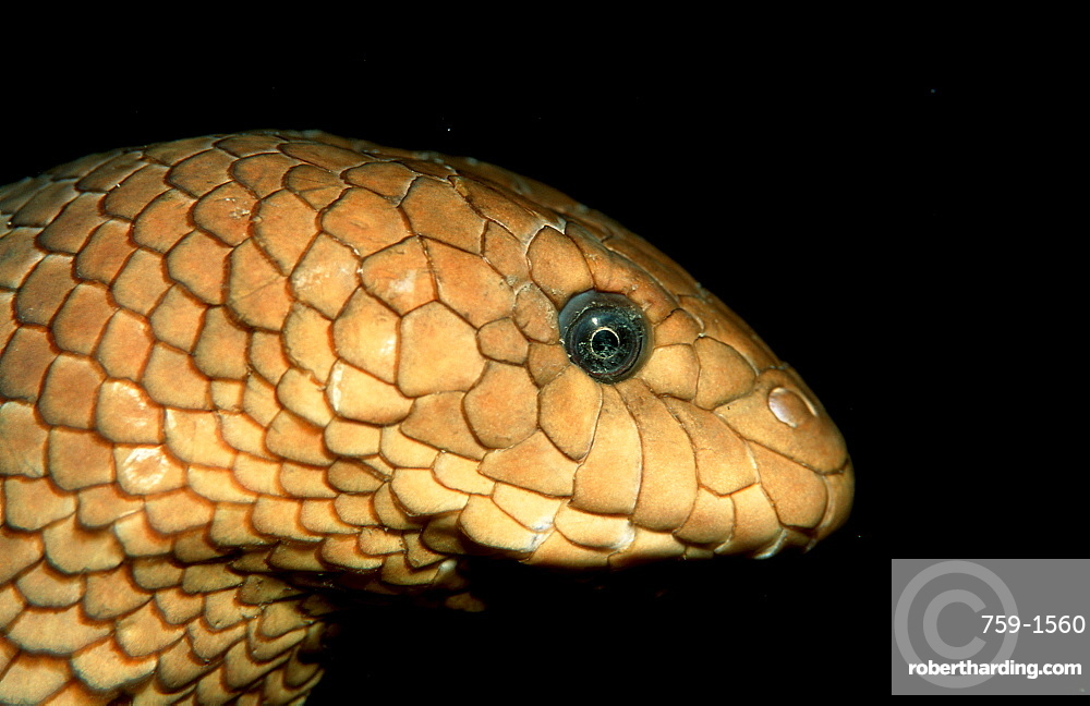 Olive sea snake, Hydrophiidae, Papua New Guinea, Pacific ocean