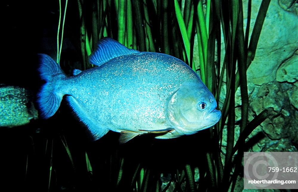 Red piranha, Serrasalmus nattereri, South america, freshwater river, Amazon Basin