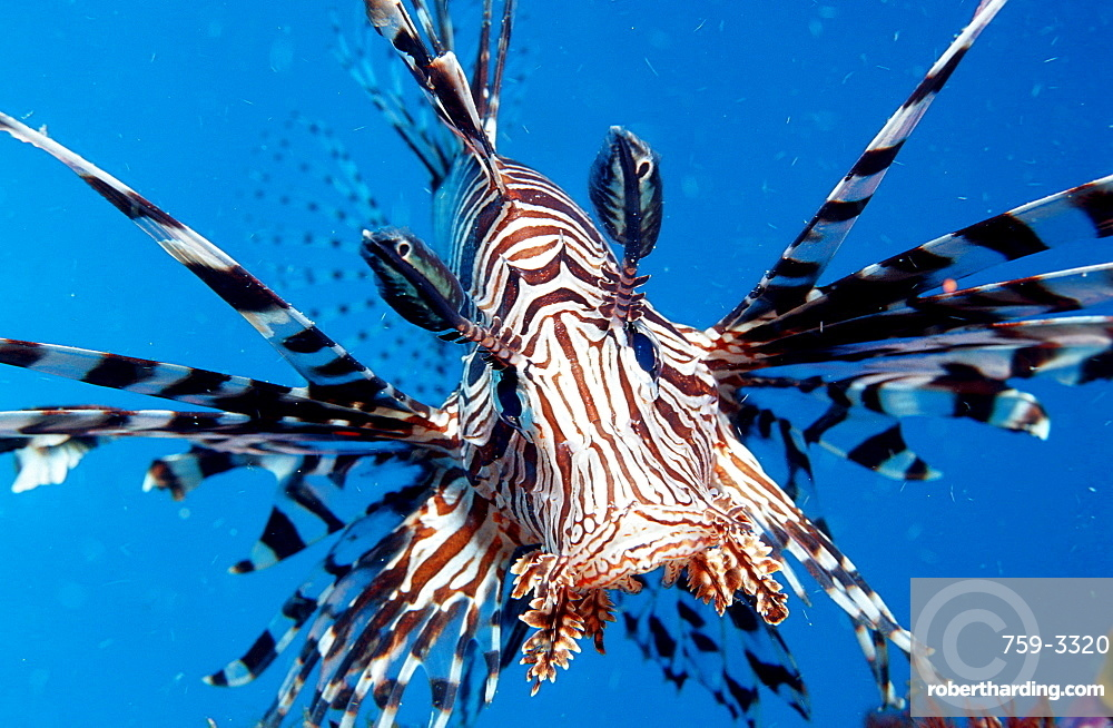 lionfish, turkeyfish, Pterois volitans, Indonesia, Indian Ocean, Komodo National Park