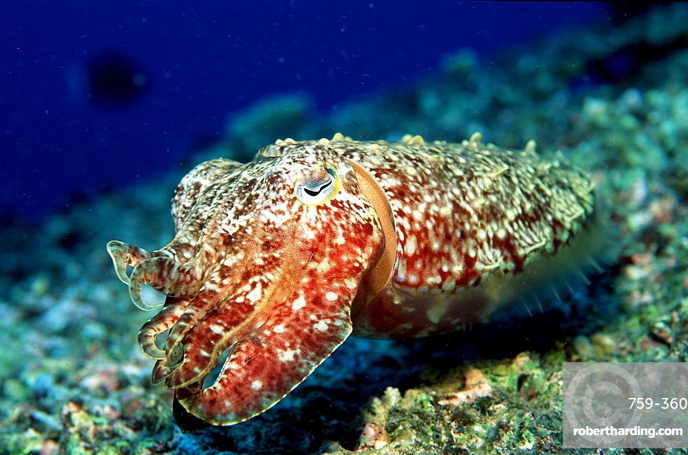 Cuttlefish, Sepia kobiensis, Papua New Guinea, Pacific ocean
