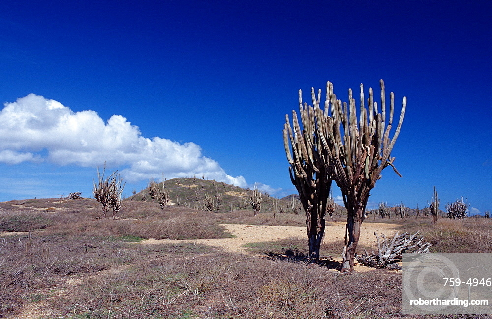 Cactuses, Netherlands Antilles, Bonaire, Bonaire, Washington Slagbaai National Park, Playa Chikitu