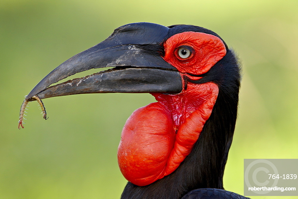 Southern Ground-Hornbill (Ground Hornbill) (Bucorvus leadbeateri), Kruger National Park, South Africa, Africa
