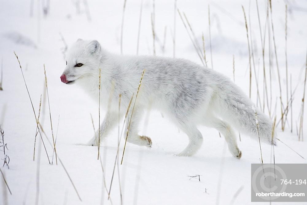 Arctic fox (Alopex lagopus) running in snow, near Churchill, Manitoba, Canada, North America