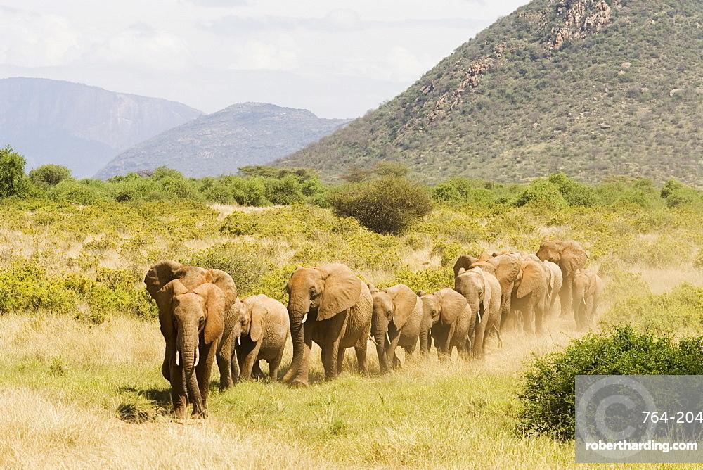 Line of African elephants (Loxodonta africana), Samburu National Reserve, Kenya, East Africa, Africa