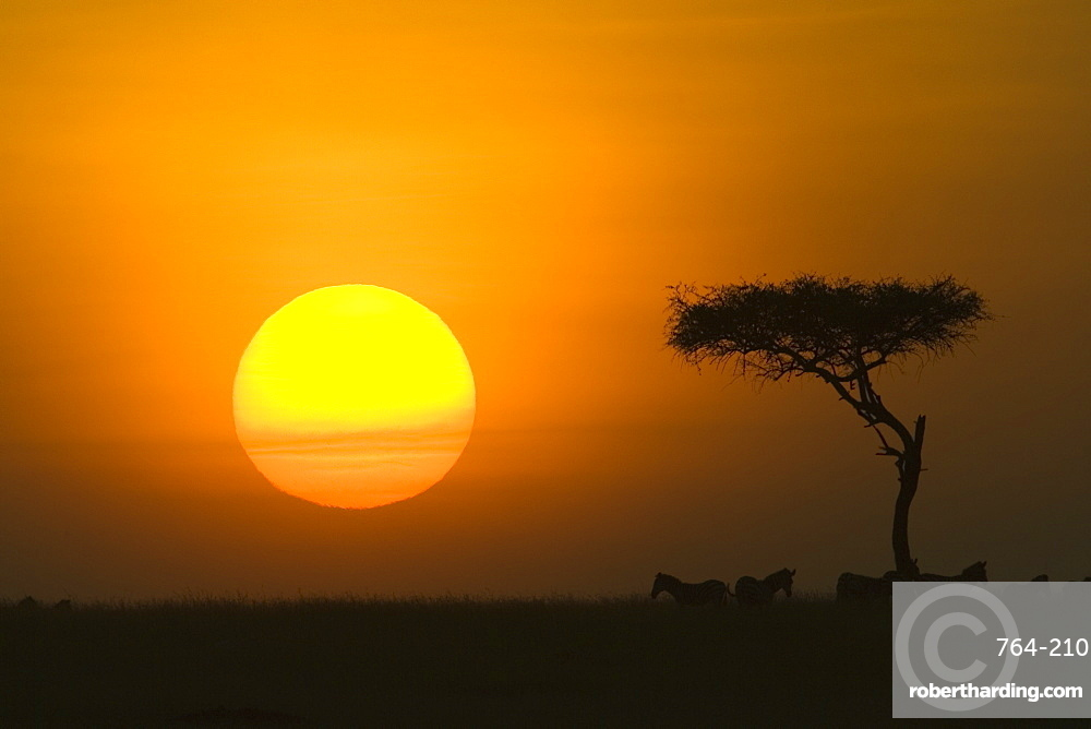 Sunset with an acacia on the horizon, Masai Mara Game Reserve, Kenya, East Africa, Africa