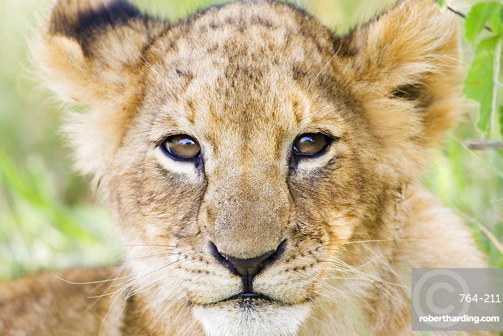 Head on shot of lion cub (Panthera leo) looking at camera, Masai Mara Game Reserve, Kenya, East Africa, Africa