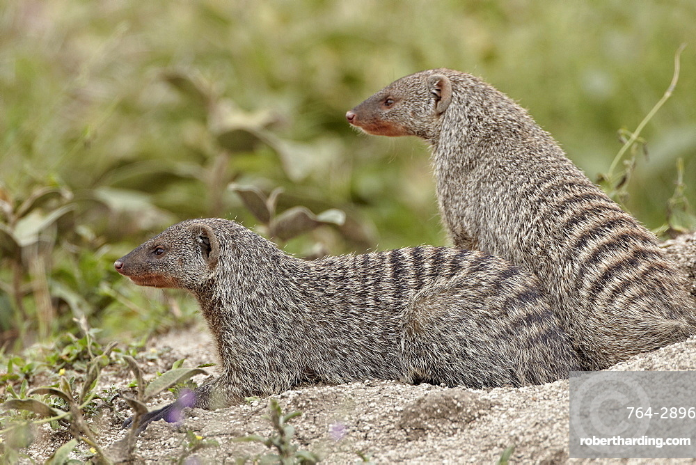 Two banded mongoose (Mungos mungo), Serengeti National Park, Tanzania, East Africa, Africa