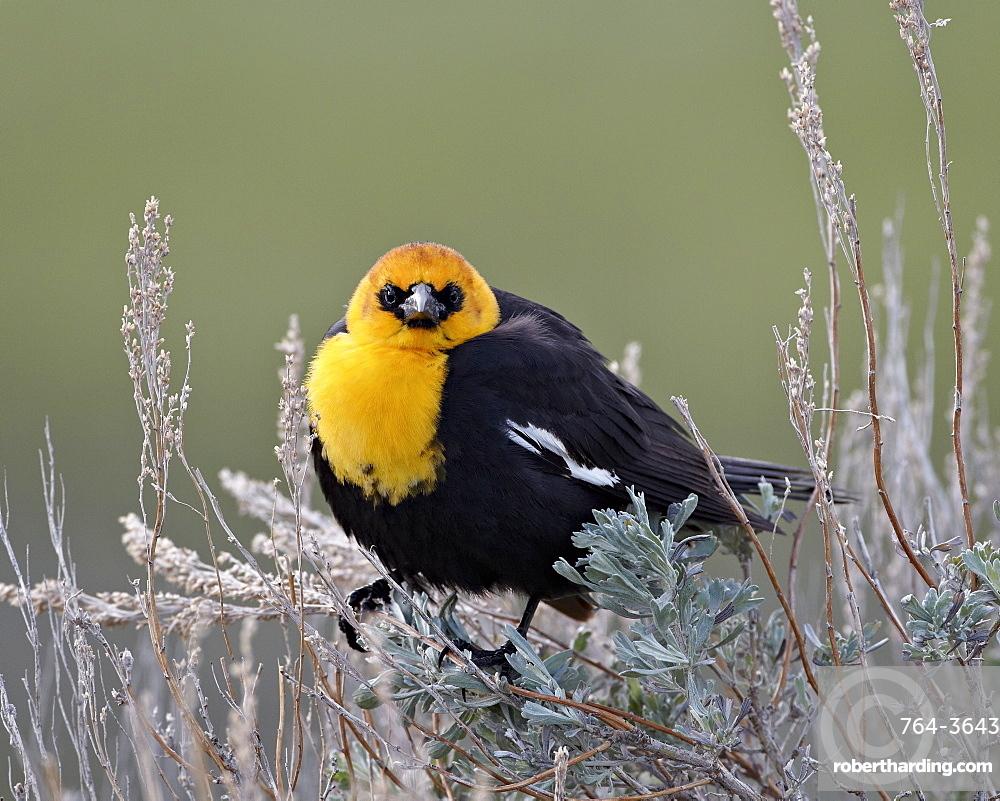 Yellow-headed blackbird (Xanthocephalus xanthocephalus), Yellowstone National Park, Wyoming, United States of America, North America