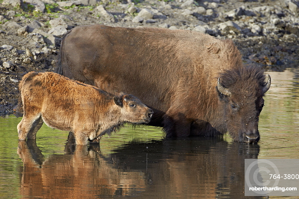 Bison (Bison bison) cow and calf drinking from a pond, Custer State Park, South Dakota, United States of America, North America