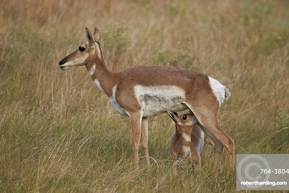 Pronghorn (Antilocapra americana) nursing, Custer State Park, South Dakota, United States of America, North America