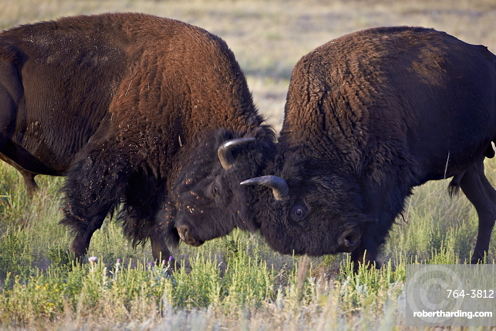Bison (Bison bison) bulls sparring, Custer State Park, South Dakota, United States of America, North America