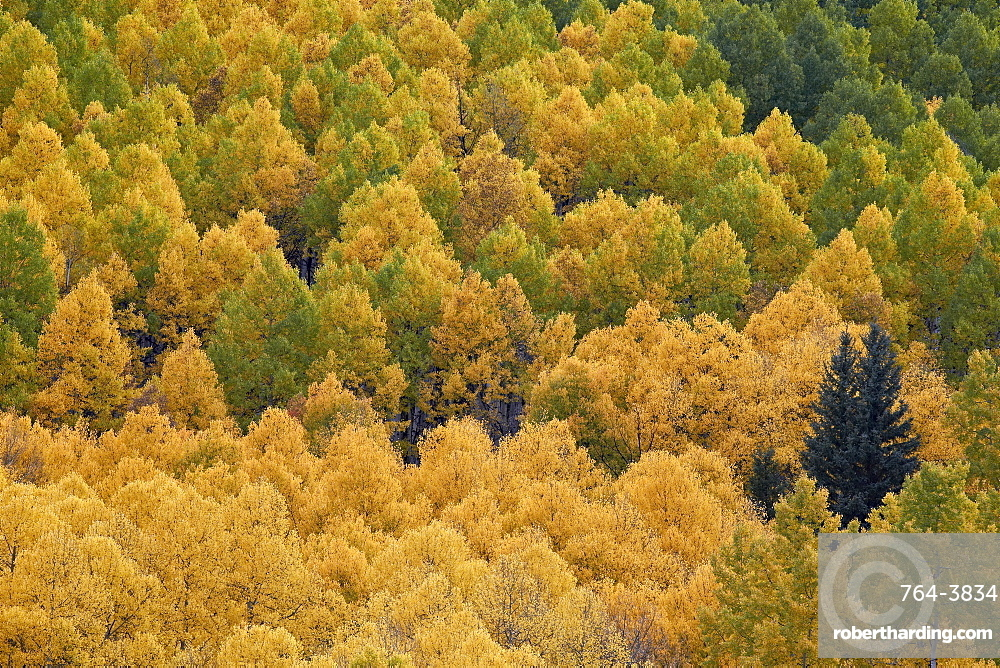 Evergreen among yellow and green aspens in the fall, Uncompahgre National Forest, Colorado, United States of America, North America