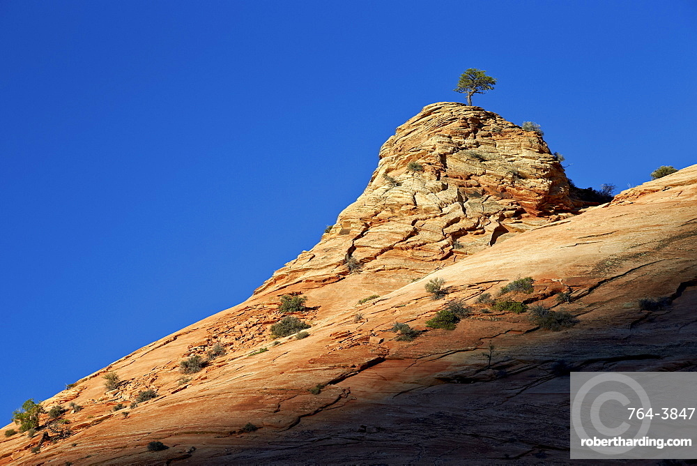 Lone Ponderosa pine atop a sandstone formation at first light, Zion National Park, Utah, United States of America, North America