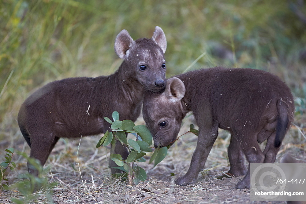 Spotted Hyena (Spotted Hyaena) (Crocuta crocuta) pups, Kruger National Park, South Africa, Africa