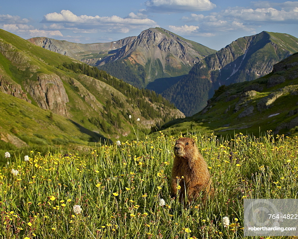 Yellow-bellied marmot (yellowbelly marmot) (Marmota flaviventris) in its Alpine environment, San Juan National Forest, Colorado, United States of America, North America