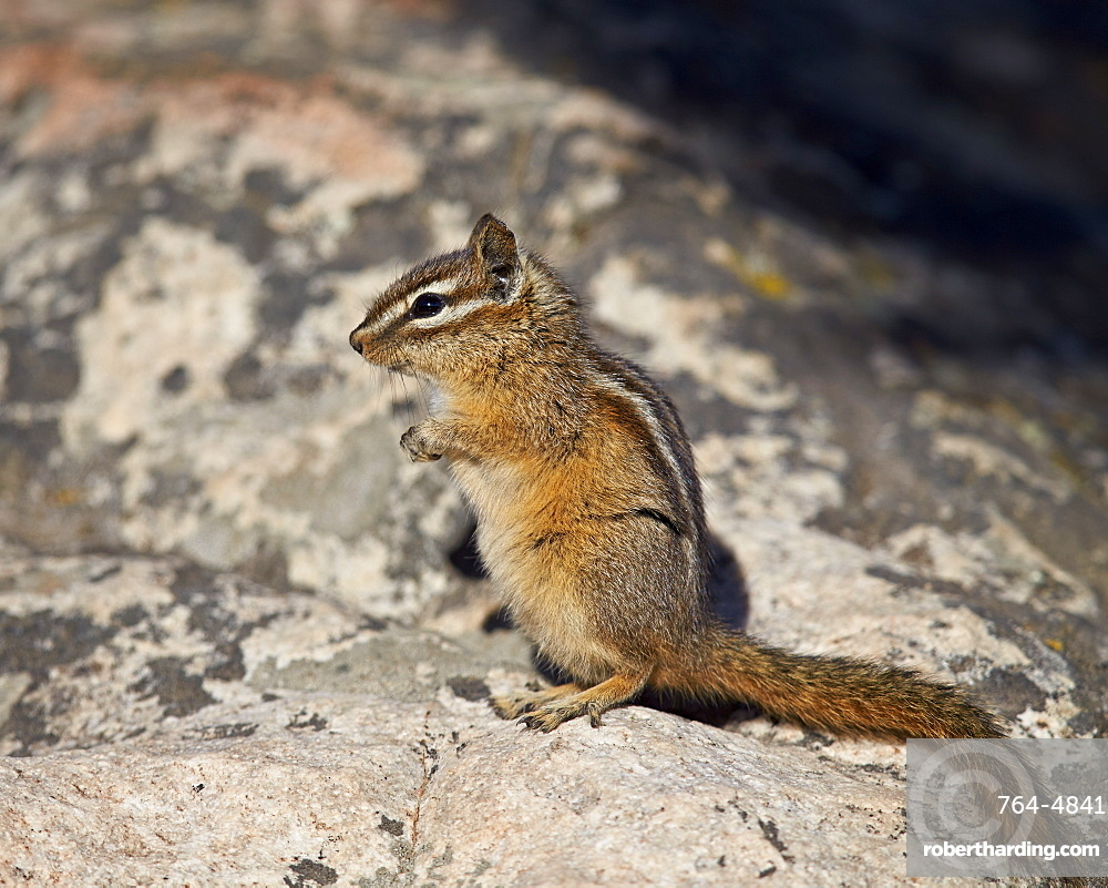 Uinta chipmunk (Tamias umbrinus), Yellowstone National Park, Wyoming, United States of America, North America