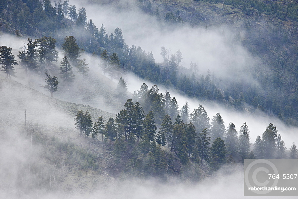 Trees on a hillside covered with fog, Yellowstone National Park, UNESCO World Heritage Site, Wyoming, United States of America, North America
