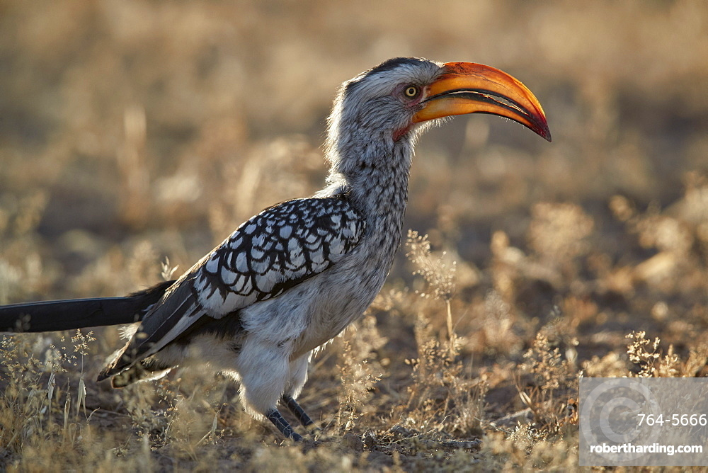 Southern yellow-billed hornbill (Tockus leucomelas), Kgalagadi Transfrontier Park, South Africa, Africa