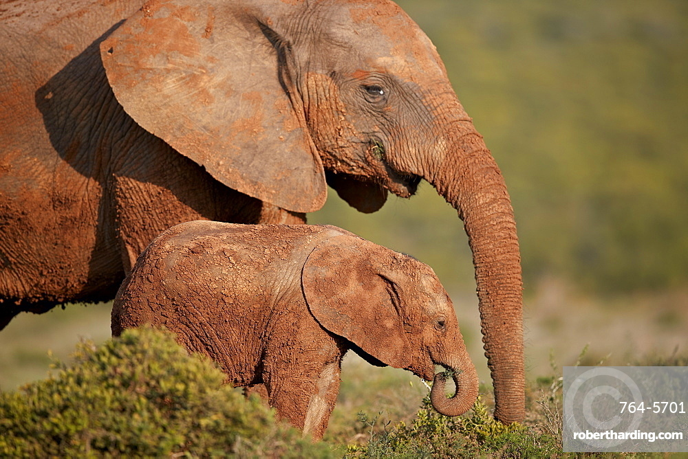 Two dirt-covered African elephant (Loxodonta africana), Addo Elephant National Park, South Africa, Africa