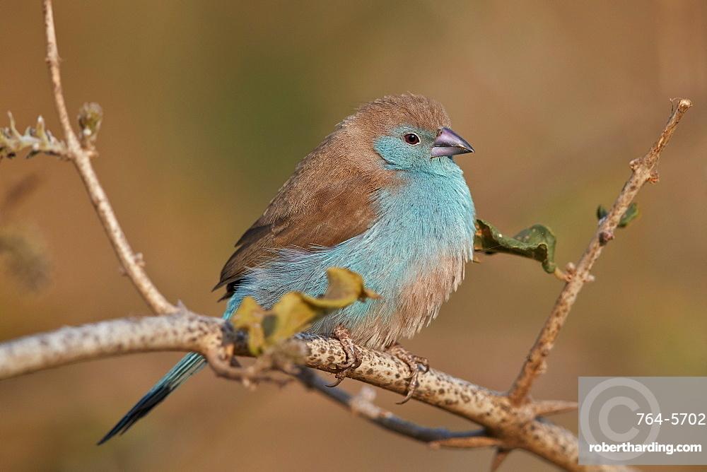Blue waxbill (Uraeginthus angolensis), Kruger National Park, South Africa, Africa