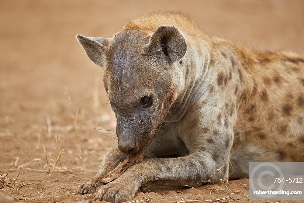 Spotted hyena (spotted hyaena) (Crocuta crocuta) eating, Kruger National Park, South Africa, Africa
