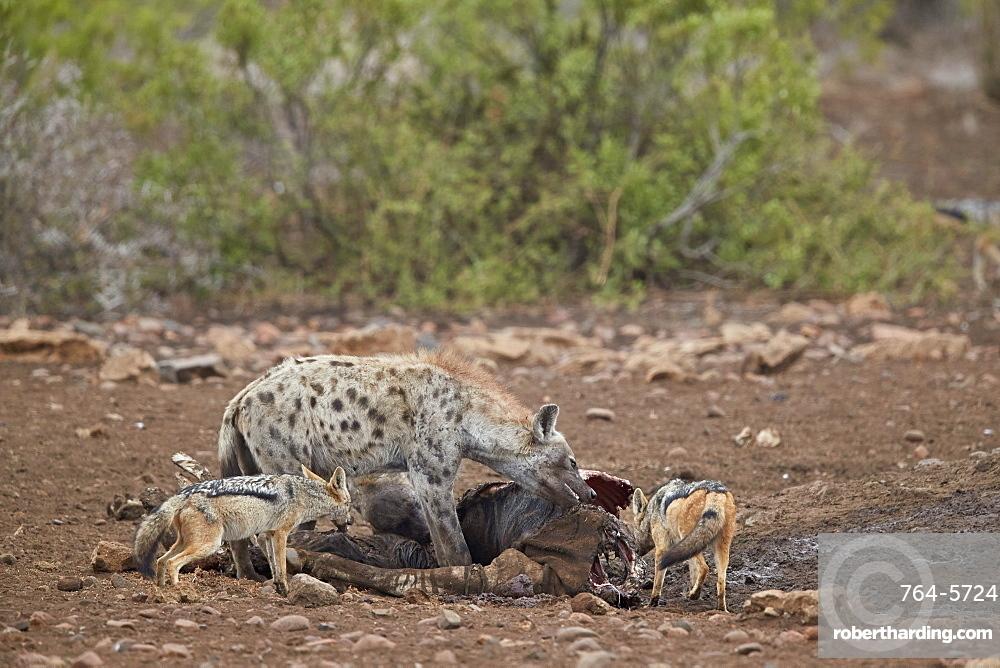 Spotted hyena (Crocuta crocuta) and black-backed jackal (Canis mesomelas) at a zebra carcass, Kruger National Park, South Africa, Africa
