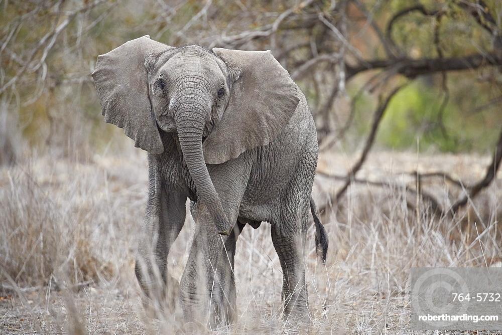 African elephant (Loxodonta africana) juvenile, Kruger National Park, South Africa, Africa