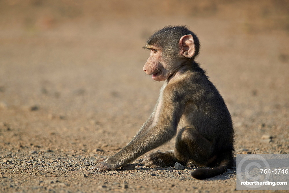 Chacma baboon (Papio ursinus) juvenile, Kruger National Park, South Africa, Africa