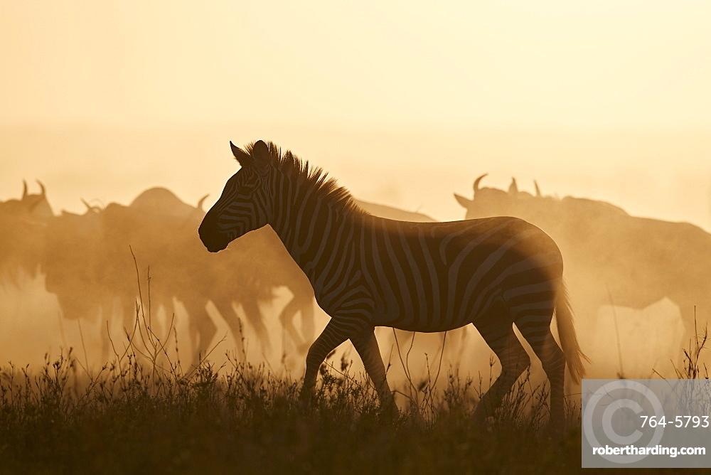 The Migration, Common Zebra (Equus burchelli) and Blue Wildebeest (Connochaetes taurinus), Serengeti National Park, Tanzania, East Africa, Africa