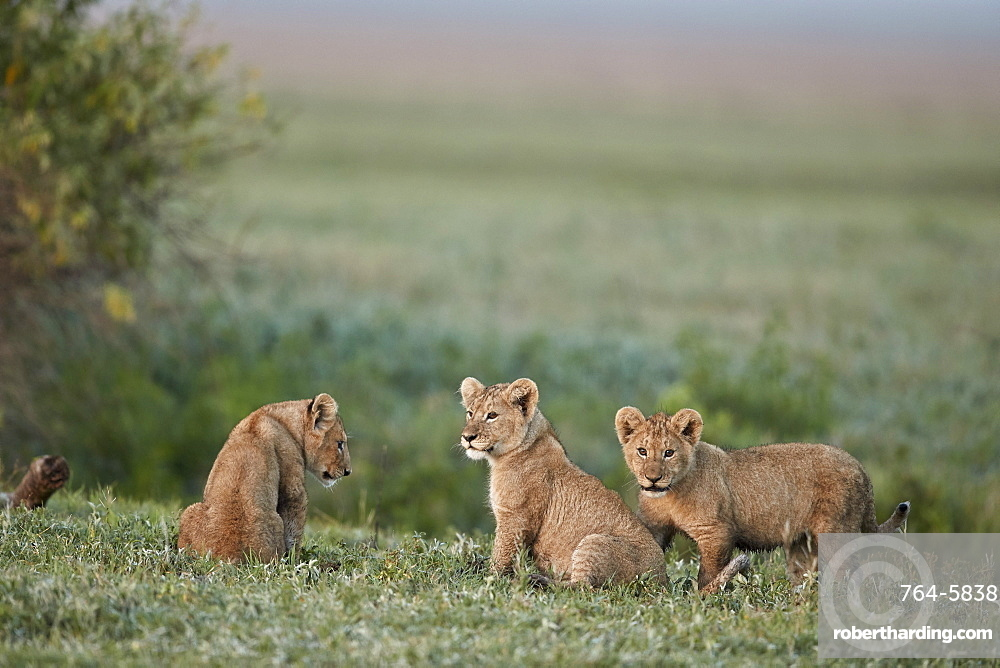 Three lion (Panthera leo) cubs, Ngorongoro Crater, Tanzania, East Africa, Africa