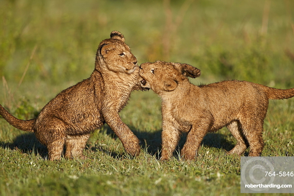 Two lion (Panthera leo) cubs playing, Ngorongoro Crater, Tanzania, East Africa, Africa