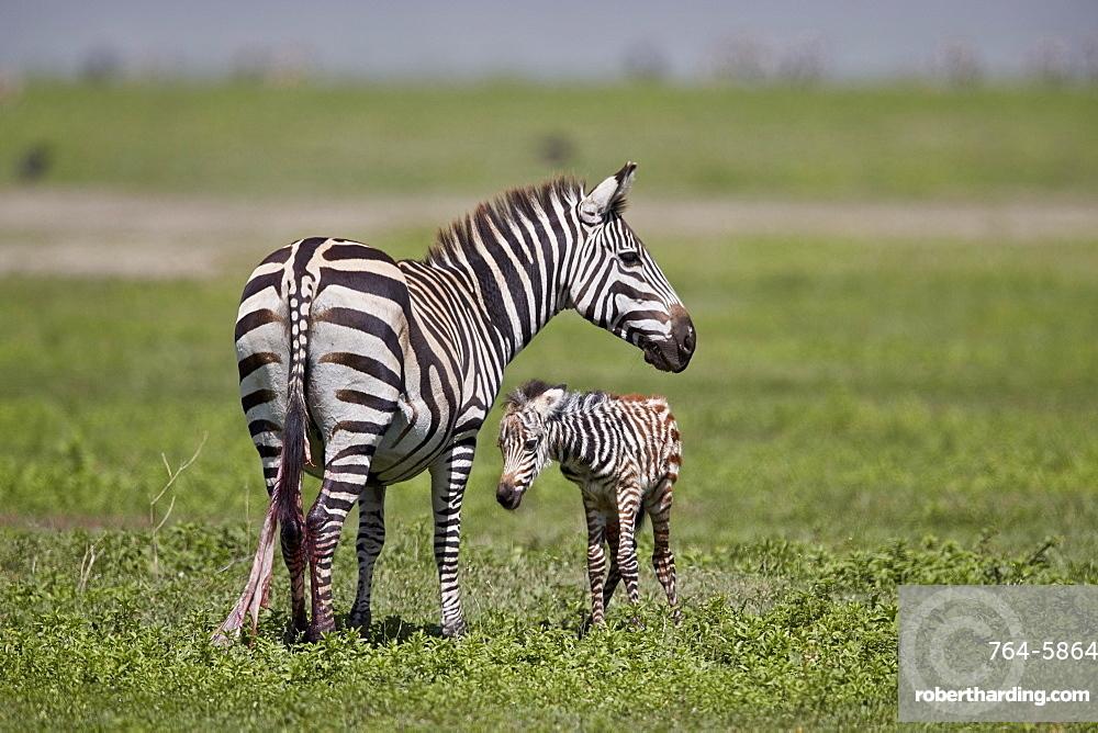 Common zebra (plains zebra) (Burchell's zebra) (Equus burchelli) mare and just-born foal, Ngorongoro Crater, Tanzania, East Africa, Africa