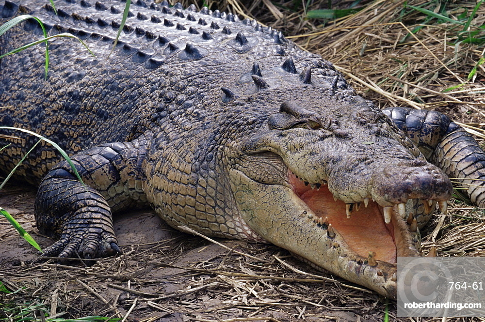 Saltwater crocodile (Crocodylus porosus), Airlie Beach, Queensland, Australia, Pacific