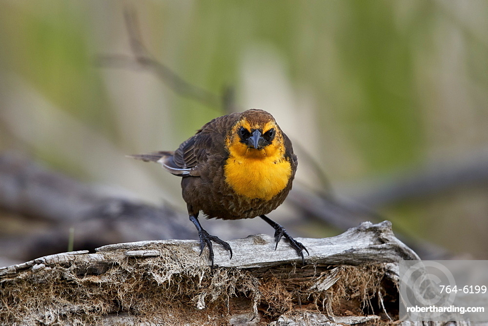 Yellow-headed Blackbird (Xanthocephalus xanthocephalus), female, Lac Le Jeune Provincial Park, British Columbia, Canada, North America