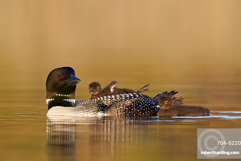 Common Loon (Gavia immer) adult with two chicks, Lac Le Jeune Provincial Park, British Columbia, Canada, North America