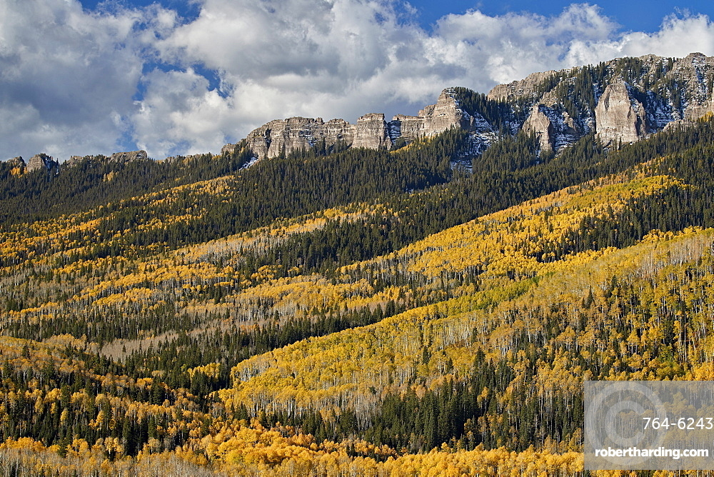 Yellow aspens in the fall, Uncompahgre National Forest, Colorado, United States of America, North America