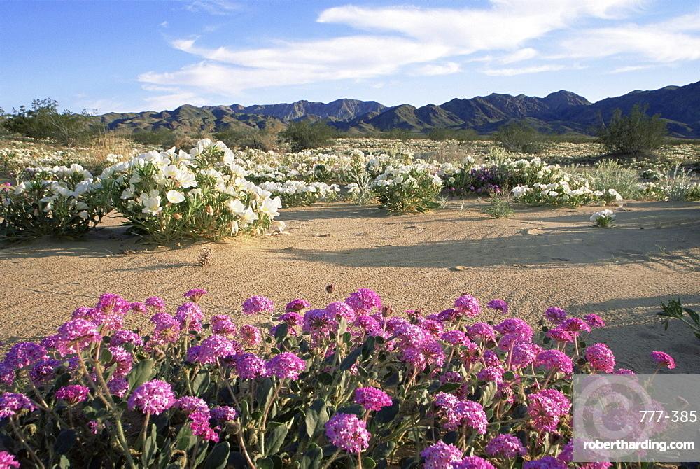 Sand verbena and dune evening primrose, Cottonwood Springs, Joshua Tree National Park, California, United States of America, North America