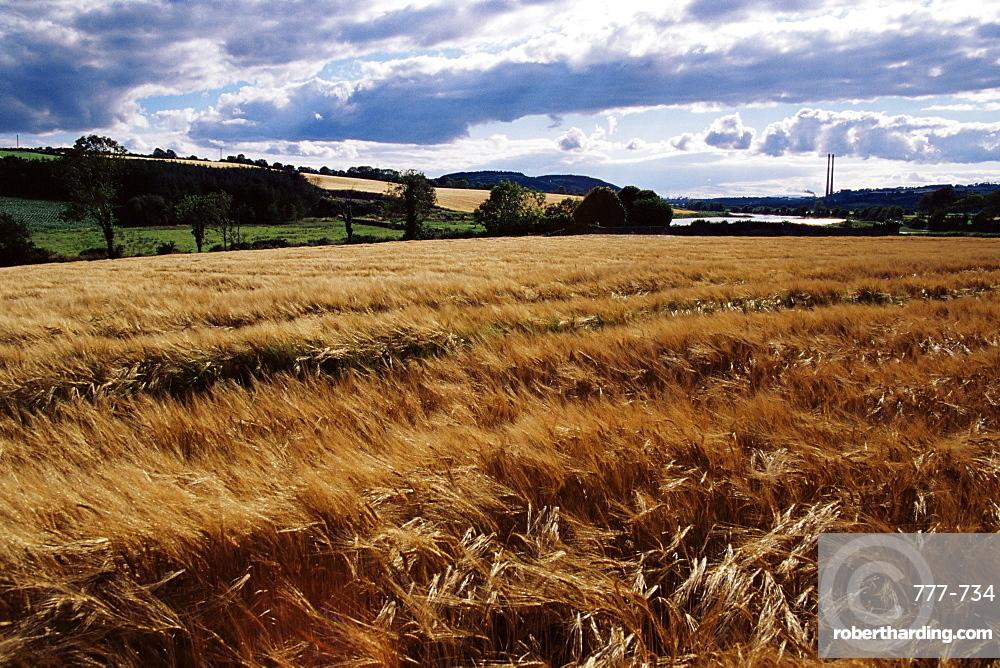 Wheat field near Dunbrody Abbey, County Wexford, Leinster, Republic of Ireland, Europe