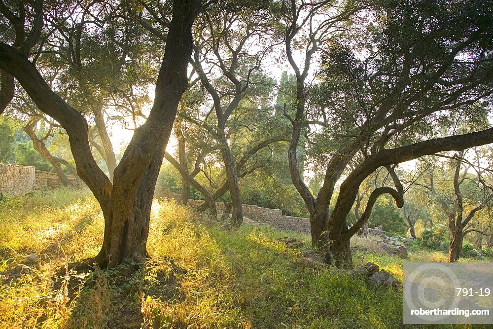Evening light shining through olive trees, Paxos, Ionian Islands, Greek Islands, Greece, Europe